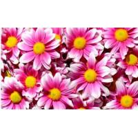 UNDERLÄGG PINK DAISY FLOWERS DRYMATE